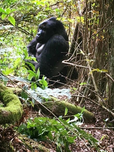 gorilla1-1